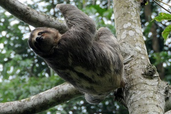 Sloth in Motion by Dr. Tim Kittel