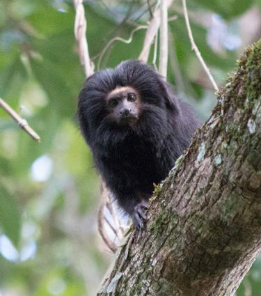 Black Lion Tamarin by Gabriela Rezende